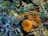 Рыба-флейта и цветные кораллы / Фото из Египта