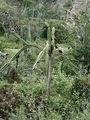 кактусы - везде! / Фото из Доминиканской Республики