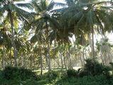 пальмовые рощи на северном берегу / Фото из Доминиканской Республики