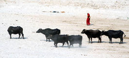 Коровы на водопое / Фото из Индии