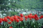 Монтре. Тюльпаны / Германия