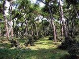 Сосновый лес на Баюкаде - главном из Принцевых островов / Фото из Турции