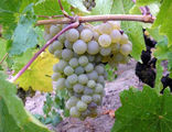 Вся территория Каппадокии щедро усажена виноградом / Фото из Турции