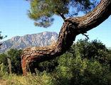 Красивая сосна и Таросские горы / Фото из Турции
