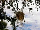 Гнездо / Фото из ЮАР