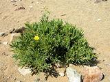 Растения с толстыми листьями / Фото из ЮАР
