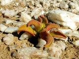 Толстые листья берегут влагу / Фото из ЮАР