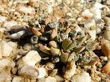 Сухие коробочки с семенами / Фото из ЮАР