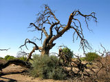 Сухие деревья / Фото из ЮАР
