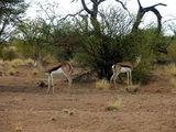 Встретить антилопу не просто / Фото из ЮАР