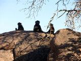 Зато много бабуинов / Фото из ЮАР