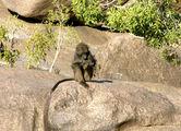 Бабуин / Фото из ЮАР