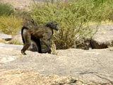 Взрослый самец / Фото из ЮАР