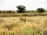 Много маленьких спрингбоков / Фото из ЮАР
