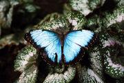 Blue Morpho / Фото из Австрии