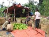 Дану на сборе мандаринов / Мьянма
