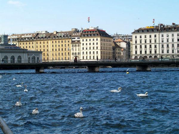 К лебедям в городском озере посреди зимы привыкнуть невозможно / Фото из Швейцарии