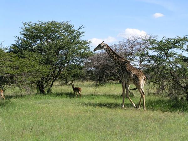 Жирафы в дикой природе / Фото из Кении