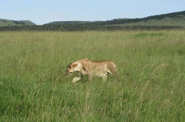 Водитель пугал нас крадущимися львами / Фото из Кении
