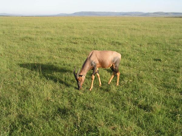 Животные гуляют сами по себе / Фото из Кении