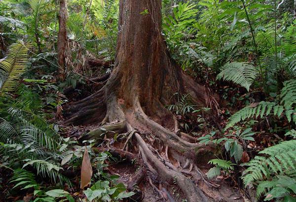Корни деревьев / Фото из Малайзии