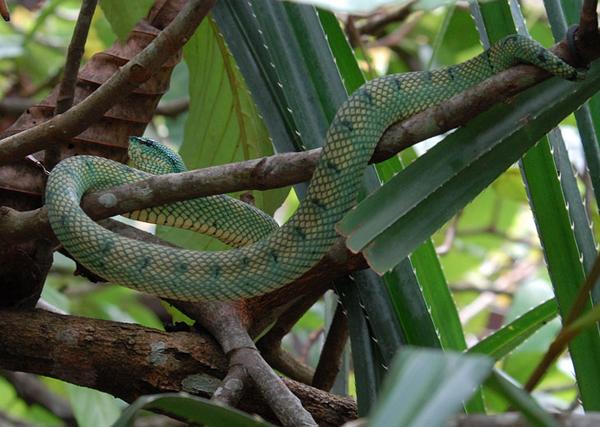 Зеленая гадюка / Фото из Малайзии