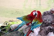 попугайская парочка / Доминикана
