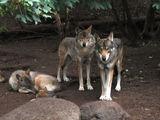 зоопарк. волки / Германия