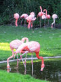 зоопарк. фламинго / Германия