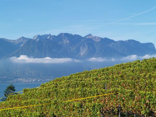 Вот так появляется grand cru / Фото из Швейцарии
