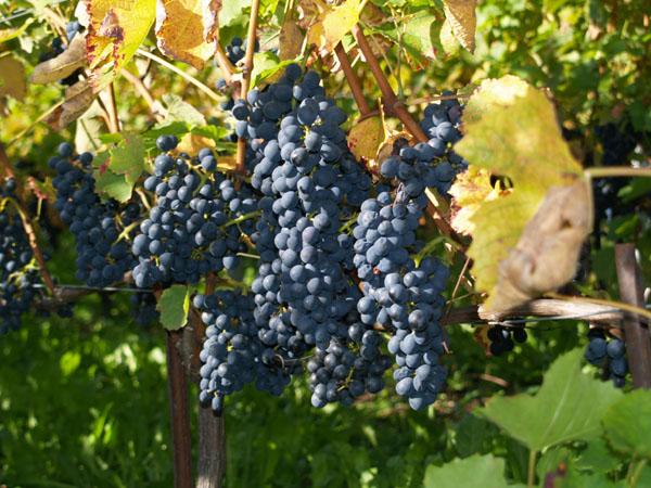 Грозди вкуснейшего винограда / Фото из Швейцарии