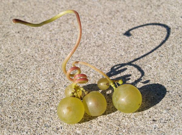 Фотографический креатив с веточкой винограда Chasselas / Фото из Швейцарии
