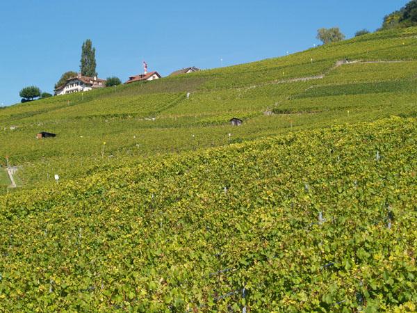 Цвет виноградников Лаво не перепутать ни с чем / Фото из Швейцарии