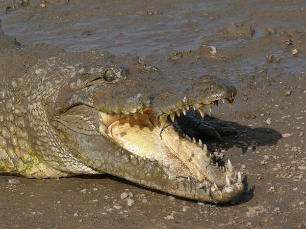 В местечке Сабу по дороге из Бобо-Диуласо в Уагадугу живет священный крокодил / Фото из Мали