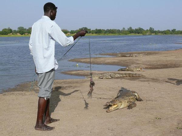 Местные жители кормят крокодилов цыплятами / Фото из Мали