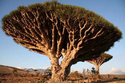 Драконовое дерево / Йемен