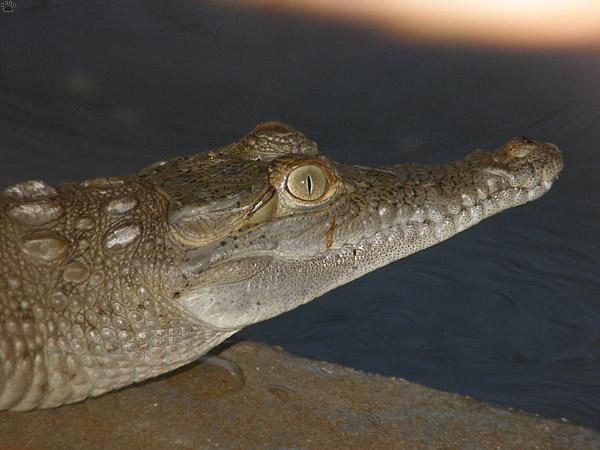 Крокодил Ориноко - родственник динозавров / Фото из Венесуэлы