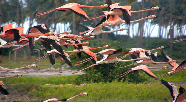 Розовые фламинго, Венесуэла / Фото из Венесуэлы