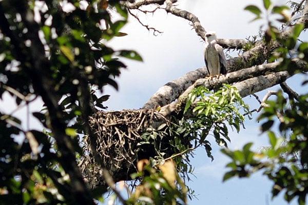 Птенец орла-гарпии у гнезда в кроне сельвы / Фото из Эквадора