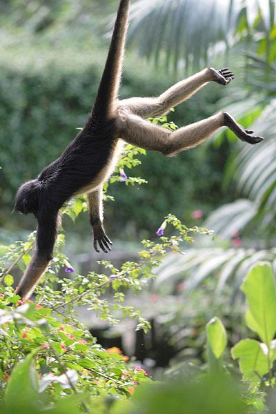 Паукообразная обезьяна - излюбленная пища диких индейцев и крупных хищных птиц / Фото из Эквадора