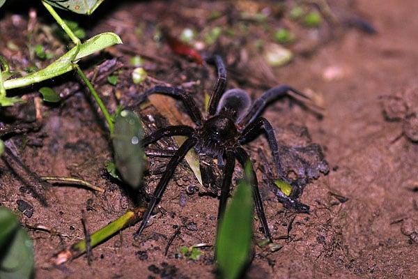 Этот 10-сантиметровый красавец шастал ночью по земле вблизи нашего бунгало / Фото из Эквадора