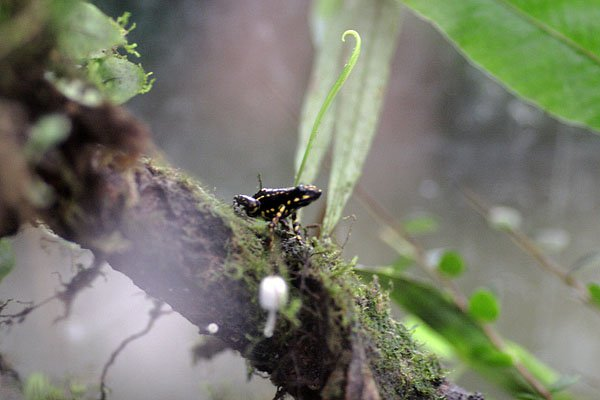 Лягушка-древолаз - самое ядовитое животное на планете / Фото из Эквадора