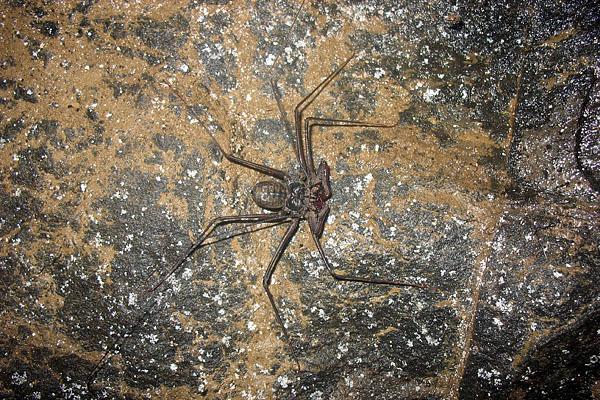 """""""Сенокосец"""" из пещеры, Эквадор / Фото из Эквадора"""