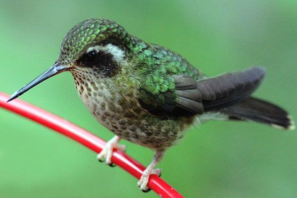 Потрясающие творения природы эти колибри / Фото из Эквадора