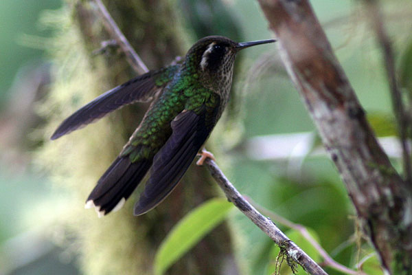 Крылья в горизонтальной плоскости / Фото из Эквадора