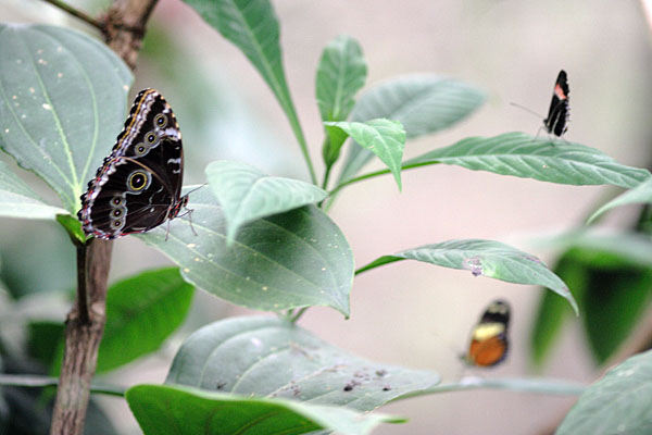 Три вида бабочек в одном кадре - не часто такое поймаешь / Фото из Эквадора
