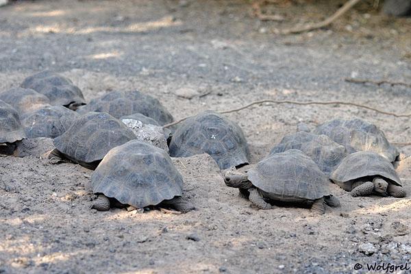 Знаменитые галапагосские черепахи / Фото из Эквадора