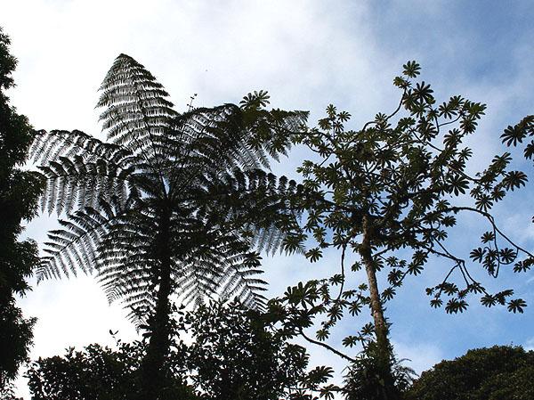 Древовидные папоротники и цекропии в Монтеверде / Фото из Коста-Рики