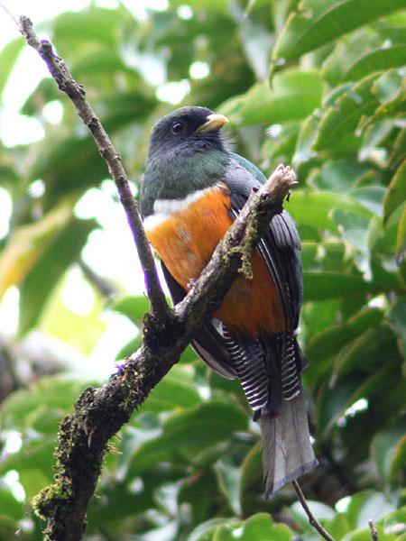 Трогон - обитает в Коста-Рике и прилегающей Панаме / Фото из Коста-Рики