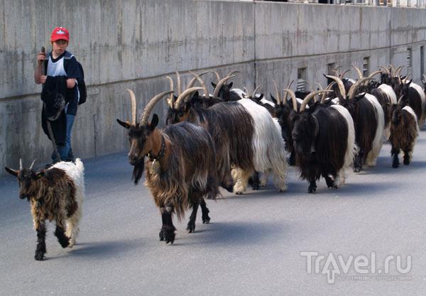 Двухцветные козлы бредут по Церматту / Фото из Швейцарии